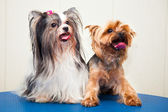 Two Yorkshire terrier - white and brown, adult and young. Shooting in studio. — Stock Photo