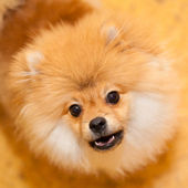 Unhappy dog Spitz. Wary looks into the camera. Shooting indoors. Small dog breeds. — Stock Photo