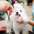 Maltese dog haircut at the beauty salon for animals. — Stock Photo