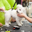 Stock Photo: Maltese dog haircut at the beauty salon for animals. White small breeds.