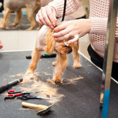 Yorkshire terrier dog haircut. beauty salon — Stock Photo