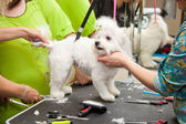 Maltese dog haircut at the beauty salon for animals. White small breeds. — Stock Photo