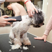 Dog poodle cut their hair in a beauty salon — Stok fotoğraf