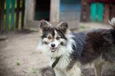 Watchdog mongrel — Stock Photo