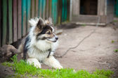 Watchdog on a chain. Country Life — Stock Photo