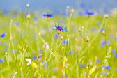 Cornflower blue flowers on the field — Stok fotoğraf
