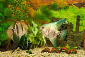 Scalar fish in the aquarium — Stock Photo