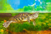 Red-eared slider swimming in the water in the aquarium. turtle in the water — Stock Photo