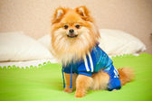 Spitz dog sitting on a bed in a blue dress — Stock Photo