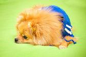 Spitz dog lying on green coverlet — Stock Photo