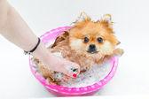 Spitz dog taking a bath and gets pleasure — Stock Photo