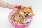 Banyo spitz köpek — Stok fotoğraf