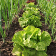 Lettuce growing in the soil — Stock Photo #12453988