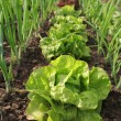 Stock Photo: Lettuce growing in the soil