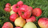 Fallen red apples in green grass — Stock Photo