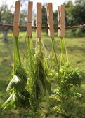 Fresh herbs hanging for drying — Stock Photo