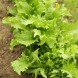 Green endive (Cichorium endivia) — Stock Photo #13479265