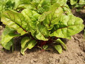 Chard growing in a garden — Stock Photo