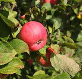 Apple on the branches of apple tree — Stock Photo