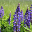 Stock Photo: Lupin (Lupinus polyphyllus) blossom