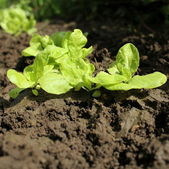 Young lettuce plant growing in planting bed — Stock Photo