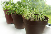 Fresh herbs in pots — Stock Photo