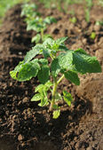 Young plant of tomato growing in the soil — Stock Photo