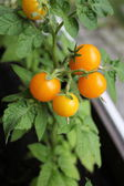 Yellow tomato growing in balcony — Stock Photo
