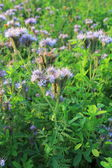 Blomming Phacelia tanacetifolia- bee pasture — Stock Photo