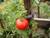 Tomato plant — Stock Photo