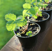 Strawberry plants in pots — Stock Photo