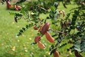 Colutea arborescens — Stock Photo