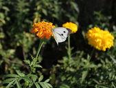 White Butterfly ( Pieris brassicae) on marigold flower — Stock Photo