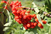 Bunch of rowan berries — Stock Photo