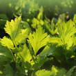 Celery growing in garden — Stock Photo #30750777