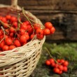 Ripe bunches of rowan berries in a wicker basket — Stock Photo