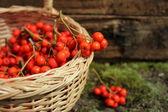 Mogen klasar av rönnbär i en flätad korg — Stockfoto