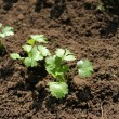 Baby coriander sprouts growing in the garden — Stock Photo