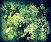 Vintage photo of branch fir-tree ( Colorado Spruce) — Stock Photo