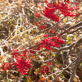 Clusters of red ash — Foto Stock