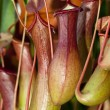 Carnivorous plants — Stock Photo