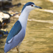 night heron — Stock Photo
