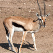 Stock Photo: Gazelle Thomson
