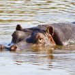 Hippopotamus — Stock Photo #26730519