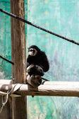 Guereza monkey — Stock Photo