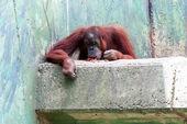 Orangotango — Foto Stock