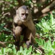 capuchin monkey — Stock Photo #27311391