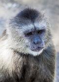 Capuchin monkey — Stock Photo
