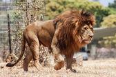 狮子 — 图库照片