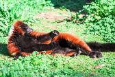 Red-bellied Lemur — Stock Photo